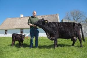 George Kelly with Hazel and the new-born heifer. Image: Valerie O'Sullivan