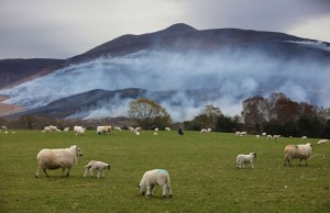 The gorse fire spreading along Tomies Mountain, close to the Gap of Dunloe, threatening the natural oak forest, the oldest surviving forest in Western Europe. Ewes with their lambs are grazing close by. Picture: Valerie O'Sullivan
