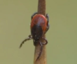 Ticks are a known cause of spreading Lyme disease